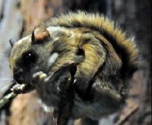ニホンモモンガ (Pteromys momonga)