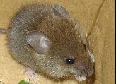ヒメネズミ (Apodemus argenteus)
