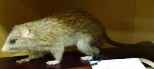 ケナガネズミ (Diplothrix legata)