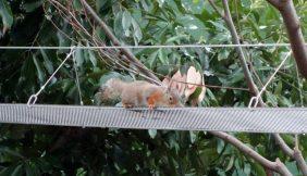 アニマルパスウェイを利用するリス(東山動物園提供)