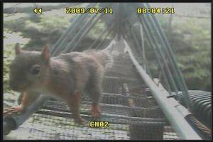 アニマルパスウェイ(Animal-pathway)を利用する樹上性動物(リス)のモニター記録